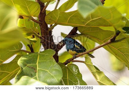 Turquoise Tanager Known As Tangara Mexicana