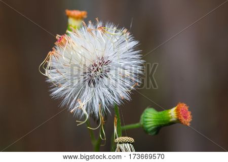 Close up of Sensitive plant or mimosa pudica plant