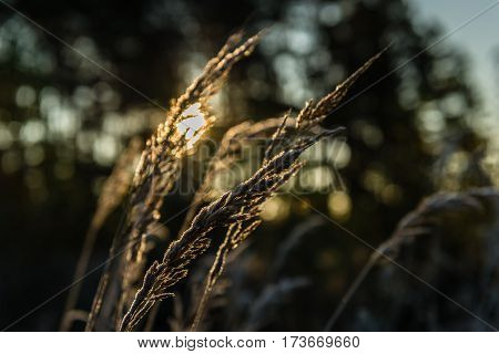 Feather grass covered with hoarfrost small depth of field. Backlighting by the sun behind.