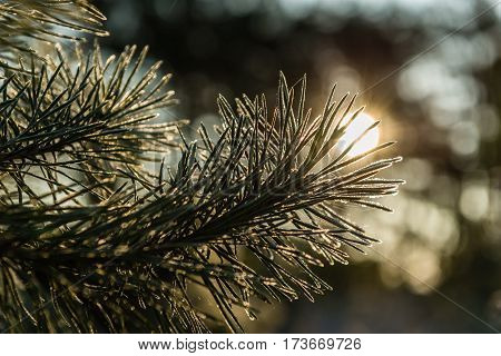 The branch of a pine in hoarfrost in the rays of the rising sun. Backlight. Shallow depth of field.