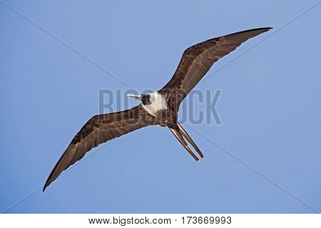 Frigate seabird soaring with spread wings over the Pacific Ocean
