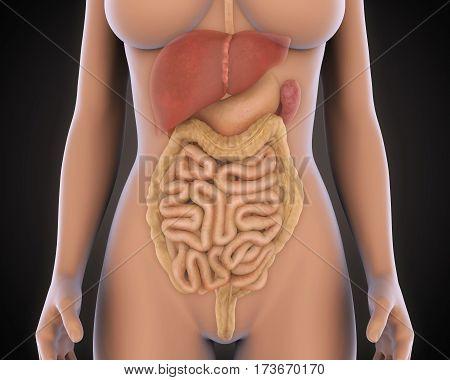 Human Digestive System Illustration . 3D render