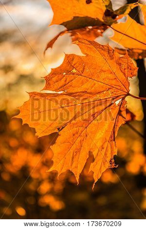 Yellow autumn maple leaves in sunbeams of a sunset. Backlighting by the sun behind. Selective focus