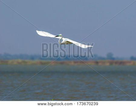 Potrait of the Ardea alba bird in low flight above water