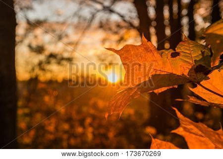 Autumn maple leaves in sunbeams of a sunset. Backlighting by the sun behind. Selective focus