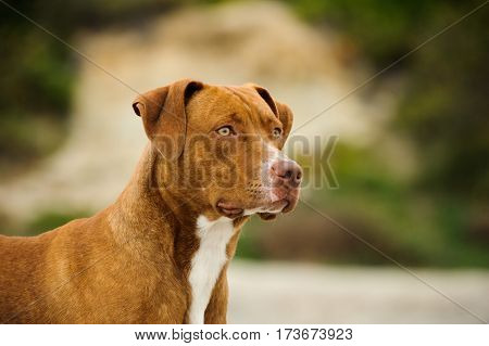 American Pit Bull Terrier dog outdoors with natural background