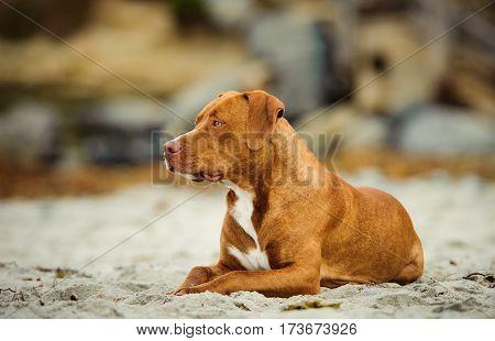 American Pit Bull Terrier dog lying on sand beach