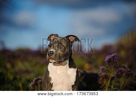 American Pit Bull Terrier puppy dog outdoors in field of purple flowers