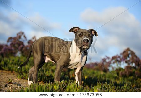 American Pit Bull Terrier puppy dog outdoors in flower field