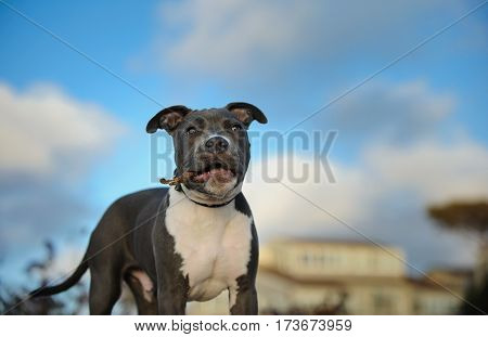 American Pit Bull Terrier puppy dog outdoors with house and sky in the background