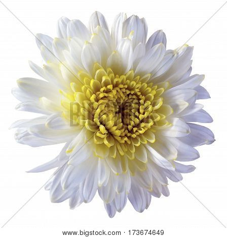 white flower chrysanthemum garden flower white isolated background with clipping path. Closeup. no shadows. yellow centre. Nature.