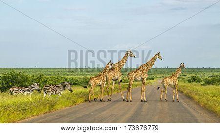 herd of wild giraffes and zebras crossing the road in Kruger Park
