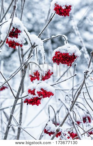 Viburnum on a branch covered with snow stock photo