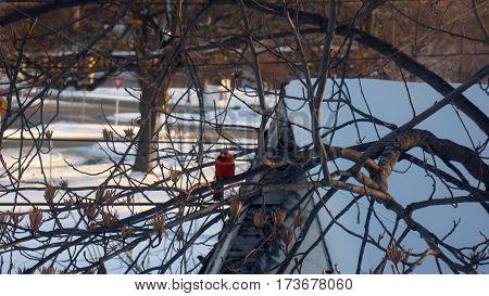 Bird cardinals in tulip tree in winter with snowy soil