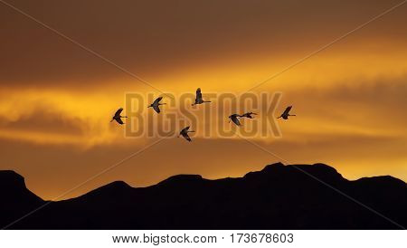 Flock of cranes spring or autumn migration over sunset landscape panoramic view