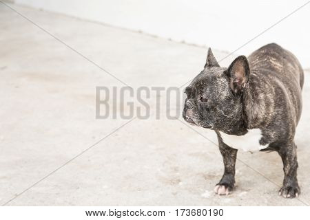 Portrait Of A French Bulldog. Adorable Puppy - French Bulldog Sitting Looking Up On White Background