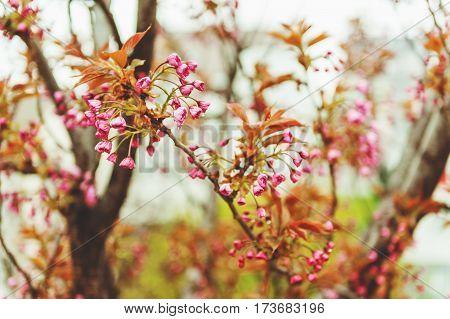 Beginning of cherry blossom on rainy day