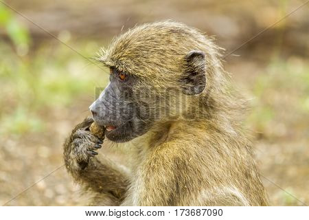 portrait of a chacma baboon in the bush in Kruger park