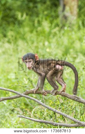 baby chacma baboon playing in a small tree in Kruger Park, South Africa