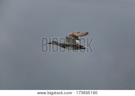 male gadwall duck (Anas strepera) flying with sky