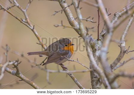 Portrait of natural european robin (Erithacus rubecula) sitting on a branch