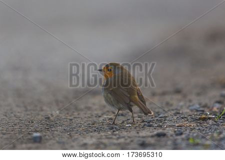 One european robin (Erithacus rubecula) standing on ground in mist in winter