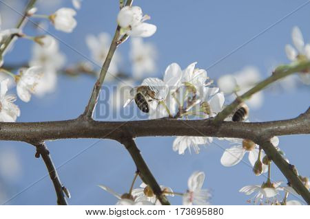 Two bees on a wild cherry flowers sunlit springtime
