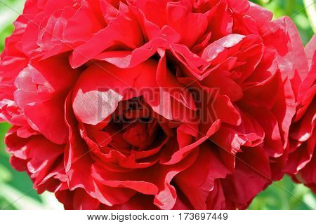Red Peony Lactiflora X Paeonia Officinalis 'carol'
