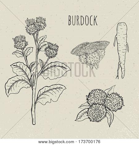 Burdock medical botanical isolated illustration. Vintage sketch. Plant, root, leaves, blossoming hand drawn set