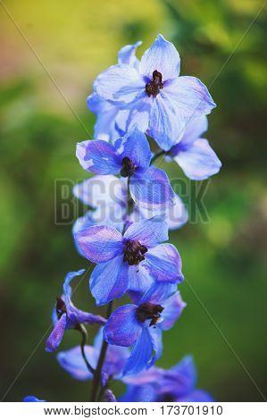 flowering delphinium closeup in summer garden. Growing beautiful blue flowering perennials