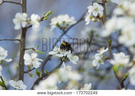 A bumblebee on a wild cherry flowers sunlit against blue sky springtime