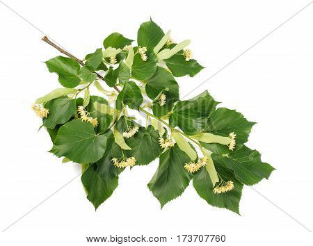 linden branch with bract and flowers isolated on white background