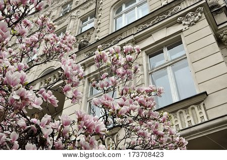 Blooming white and pink magnolia tree in spring on a background of an old classic building. Wroclaw, Poland.