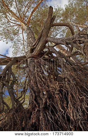 The roots, trunk and crown of pine against the blue sky.