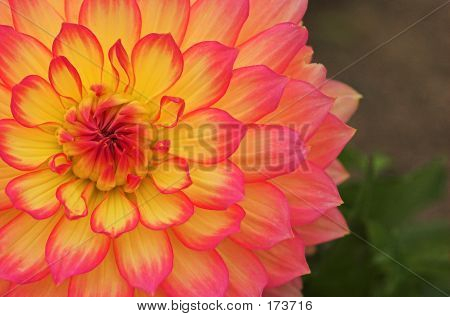 Pink And Yellow Dahlia 01