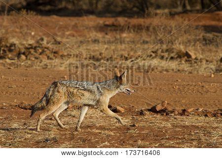 Black Backed Jackal out for a stroll, Madikwe Game Reserve