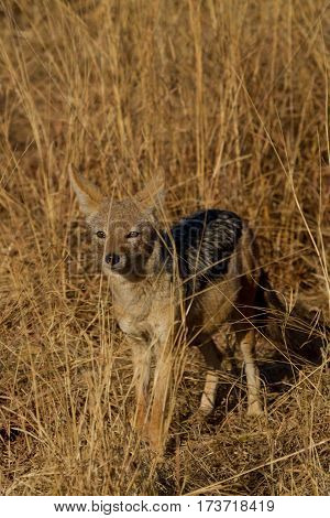 Black-Backed Jackal watch a lion pack after a kill and hoping there's some left over