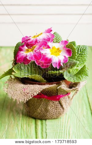 Pink spring flowers in a pot. Revival concept