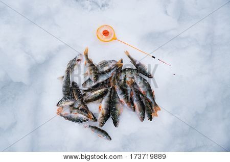 Ice fishing. Group of perch caught lying on the ice with sport fishing rod