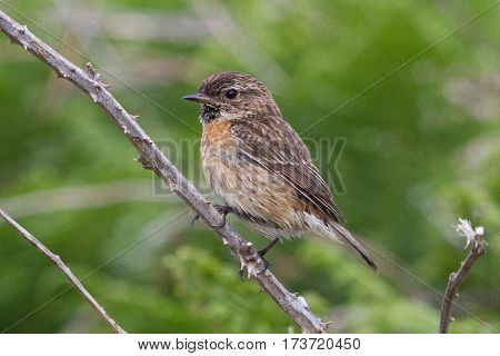 Single female Stonechat perched on a bramble