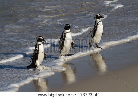 Three Jackass Penguins arriving at Boulders Beach after a fishing trip