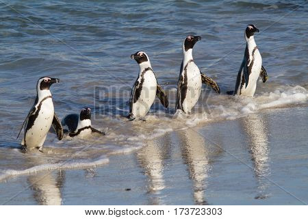 Five Jackass Penguins arriving at Boulders Beach after a fishing expedition