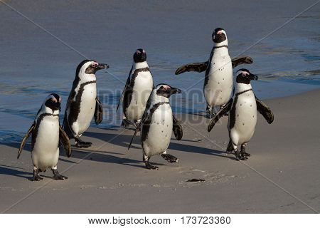 Six African Penguins at Boulders Beach, South Africa