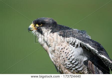 Peregrine Falcon in profile view. A stunning creature