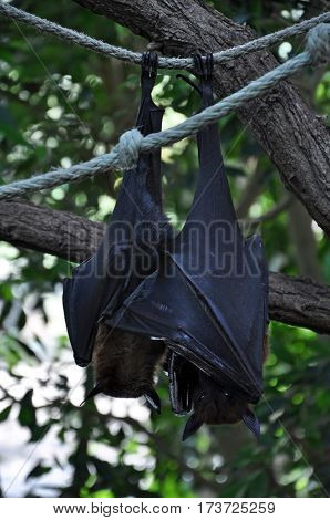 Two bats sleeping head down on a rope in nature.