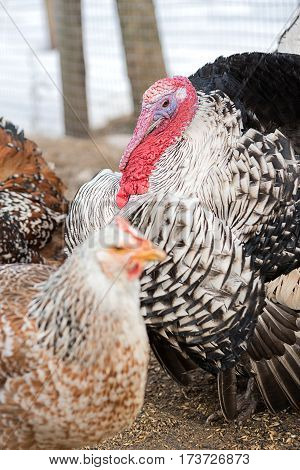 Turkey with its beautiful beak is to bird the farm yard