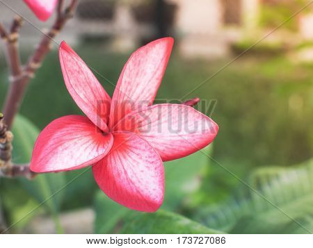 Pink Plumeria Rubra Linn(Frangipani) in sunlight, Selective focus with place your text