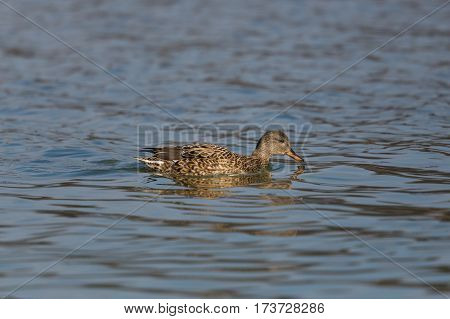 portrait of swimming female gadwall duck (Anas strepera)