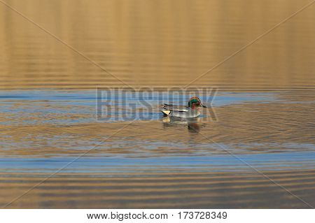 Male common teal (Anas crecca) swimming in golden evening light