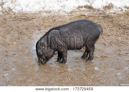 Pig drinks water from puddles in the pasture on the farm